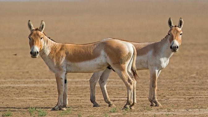 gujrati-donkey